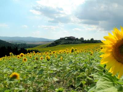 sun flower field in Tuscany
