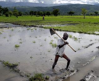 haitian rice farmer