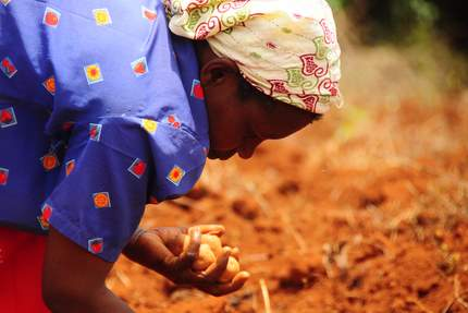 Kenya - planting potatoes