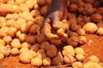 picking potato seedlings