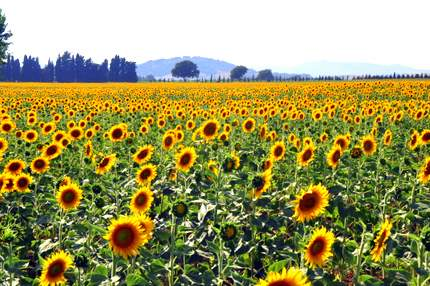 sunflowers in Le Marche