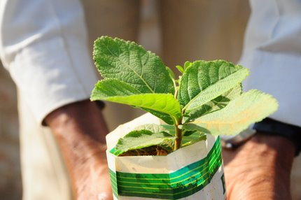 teak seedling